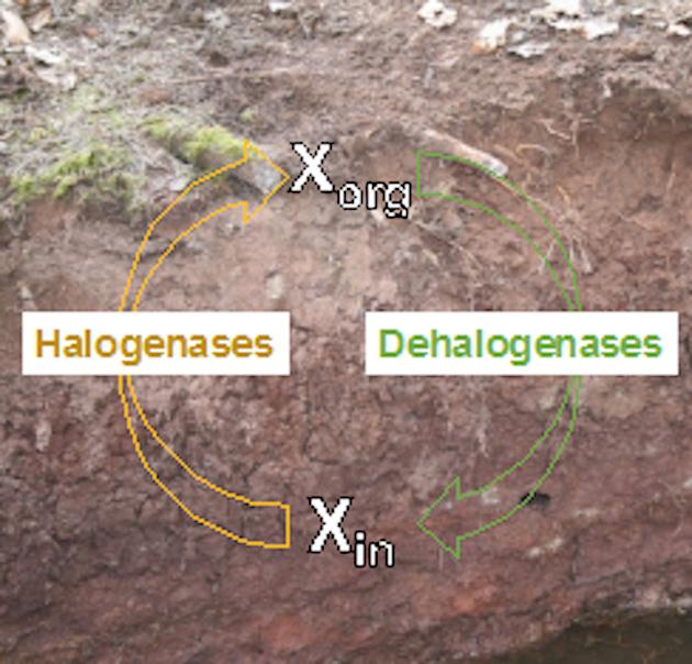 Photo of Mikroorganismen haben beachtlichen Anteil an der Umsetzung halogenorganischer Verbindungen